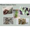 Phlomis umbrosa Turcz root,Phlomis umbrosa Turcz powder for sale