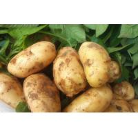 Wholesale Yellow Long Organic Potatoes , Cold Storage Potato For Supermarket, eating fried crisp, Fried strips not broken from china suppliers