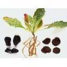 Rehmannia glutinosa (Gaetn.) Libosch. ex Fisch. et Mey. dried root for sale