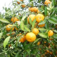 China Guangdong Citrus Mashui Mandarin Orange for sale