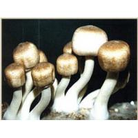 Wholesale Agaricus Blazei Extract-Polysaccharides from china suppliers