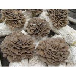 China Maitake Extract- Maitake Polysaccharides for sale