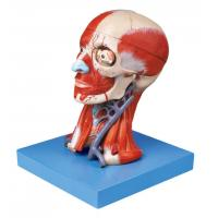 Wholesale Brain Model with Pate Muscle and Blood Vessels for Medical Colleges Training from china suppliers