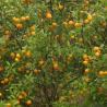 Fresh Fruit Spring Mandarin Orange for sale