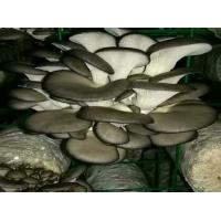 Wholesale Factory Price Premium Cultivated Oyster Mushroom Spawn Logs (Pleurotus  Spawns) from china suppliers