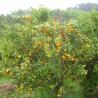 Juicy Baby Mandarin Orange for sale
