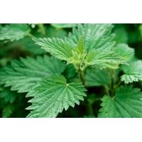 Wholesale Nettle smartweed Urtica fissa E Pritz stem leaf traditional herb medicine qian ma from china suppliers