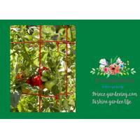 Wholesale Powder Coated Steel Tomato Plant Stakes / Support For Tomato Plants from china suppliers
