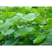 High Quaity and natural plant extract Lotus --Nelumbo Nucifera Gaertn. -Folium Nelumbinis for sale