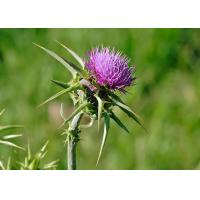 Buy cheap Natural 80% Silymarin Milk Thistle Extract Used to detoxify and reduce the blood fat from wholesalers