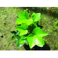 High Quality 1%-5% Hederagenin Ivy Leaf Extract --Hedera nepalensis K,Koch var.sinensis for sale