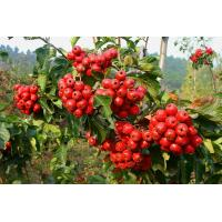 High Quality Brown Powder Extract Of Hawthorn Berry-- Crataegus pinnatifida Bge. for sale
