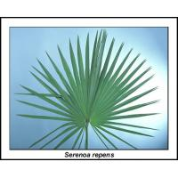 Wholesale Natural 25-45% Fatty Acids Saw Palmetto Fruit Extract --Serenoa repens from china suppliers