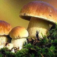 Wholesale Boletus Edulis, Available in Fresh/Dried/Sliced/Frozen Types from china suppliers