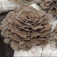 Wholesale Maitake, Used Widely in Variety of Dishes from china suppliers