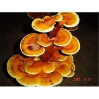 Wholesale Ganoderma Lucidum from china suppliers
