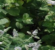 Wholesale Standardized Extract Peppermint Extract,Wild Mint Herb Extract from china suppliers