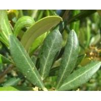 Wholesale Standardized Extract Olive Leaf (Europe) Extract from china suppliers