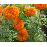 China Lutein also known as plant progesterone on sale
