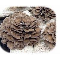 China Woman's Healthy  Maitake Mushroom Extract Model: F1013 on sale