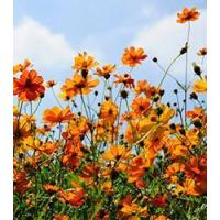 Buy cheap Browse By Category Cosmos - Bright Light from wholesalers