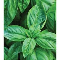 Buy cheap Browse By Category Basil, Italian Large Leaf from wholesalers