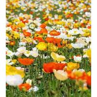 Buy cheap Browse By Category poppy - Iceland Mix from wholesalers