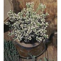 Buy cheap Browse By Category Thyme, Winter from wholesalers