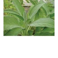 Buy cheap Browse By Category Sage, Broadleaf from wholesalers
