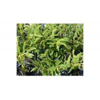Wholesale nomame senna herb extract from china suppliers