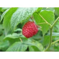Wholesale raspberry extract from china suppliers