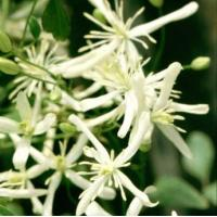 Wholesale Climbers Clematis Flammula from china suppliers