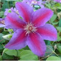 Wholesale Climbers Clematis Fireworks from china suppliers