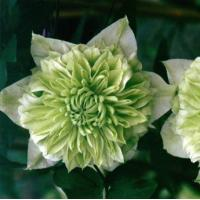 Wholesale Climbers Clematis Florida Alba Pleana from china suppliers