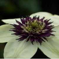Wholesale Climbers Clematis Florida Seiboldi from china suppliers