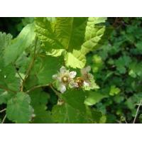 Wholesale Hawthorn Leaf Extract from china suppliers