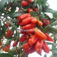 Wholesale Qinghai Goji from china suppliers