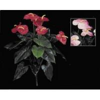China Anthurium Plant - 22 on sale