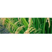 Wholesale Rice from china suppliers