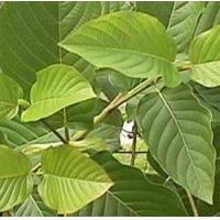 Wholesale Kratom from china suppliers