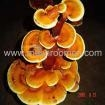 China Cultivated Mushroom(Dry) Ganoderma Lucidum
