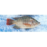 Wholesale Frozen Tilapia Whole Round from china suppliers