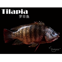 Buy cheap Tilapia High Quality from wholesalers