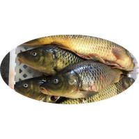 Buy cheap Carp Cyprinus Carpio from wholesalers