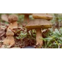 Buy cheap wild edible fungus Porcini from wholesalers